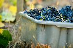 Bin of Grapes Harvested